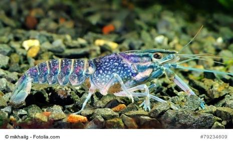 blue crawfish  in a freshwater aquarium.