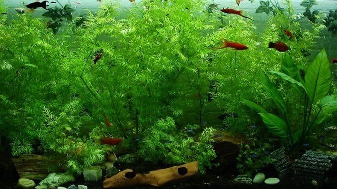 Aquarium düngen