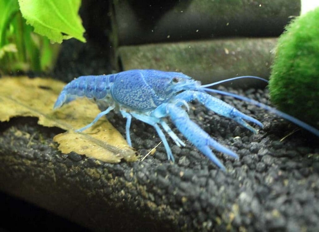 blauer-floridakrebs