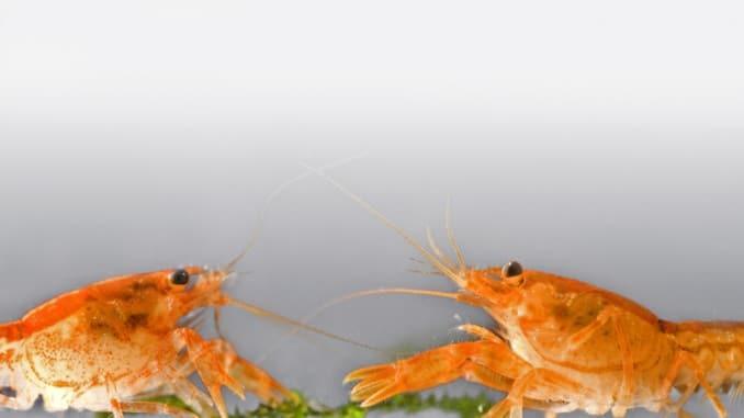 Orangener Zwergflusskrebs CPO