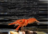 Orange Zwergflusskrebse im Nanoaquarium