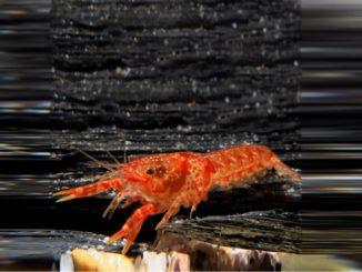 orangener-zwergflusskrebs-cpo