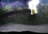 Algen im Aquarium bekämpfen