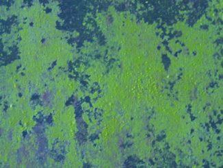 gruenalgen