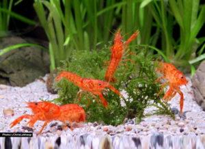 orangefarbene_zwergkrebse_gemeinsam_im_aquarium