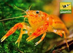 orangefarbener_zwergkrebse_cpo_versteckt