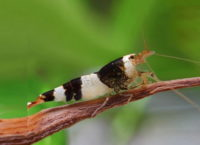 Black Bee Garnele