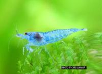 Blue Jelly Garnele