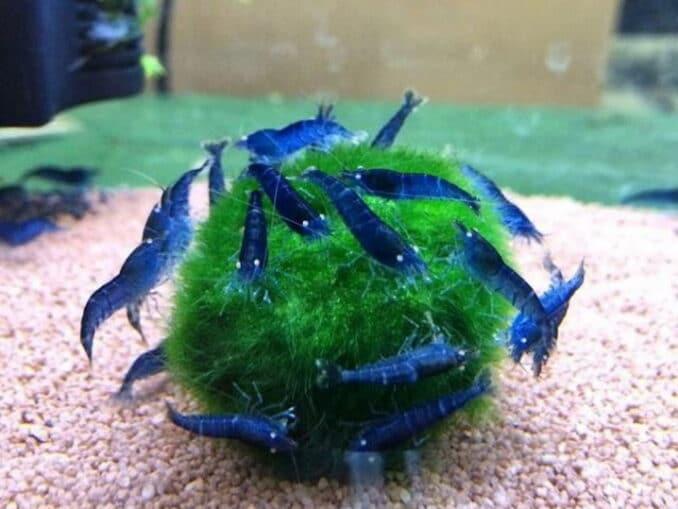 blaue_tigergarnelen_mit_moos_aquarium