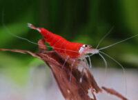 Crystal Red Garnele