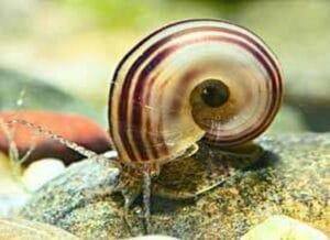 paradiesschnecke_im_aquarium